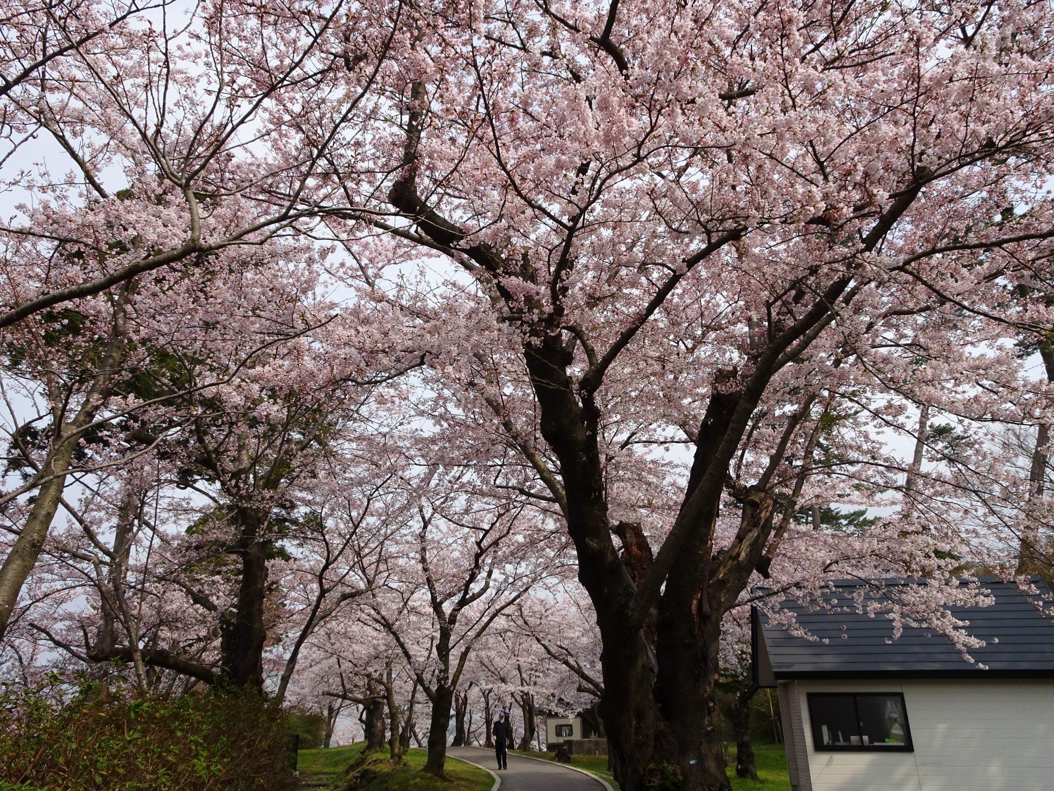 本荘公園の桜まつり02