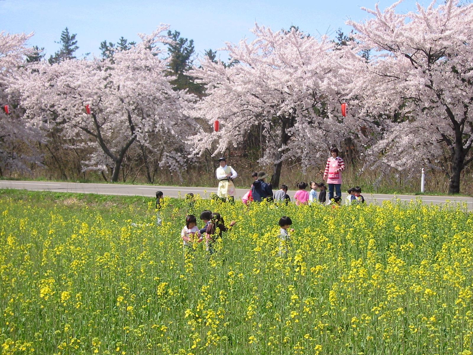 西目 桜・菜の花まつり
