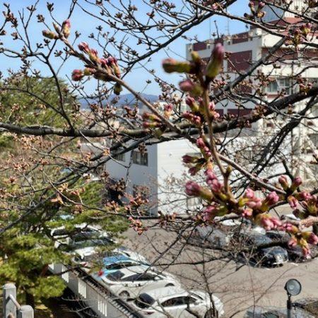 4/2桜開花情報