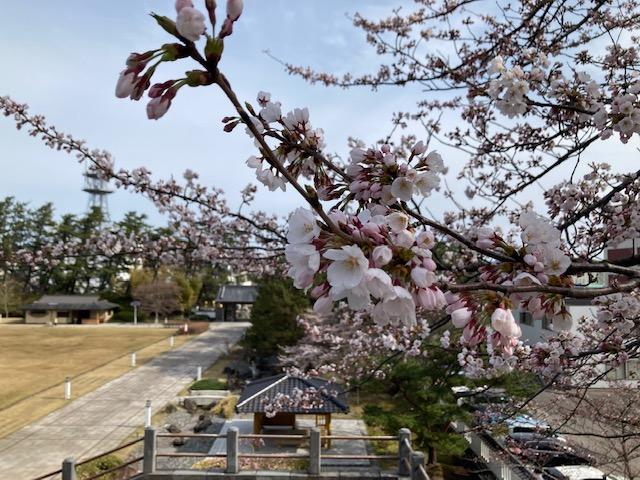 4/6 本荘公園の桜