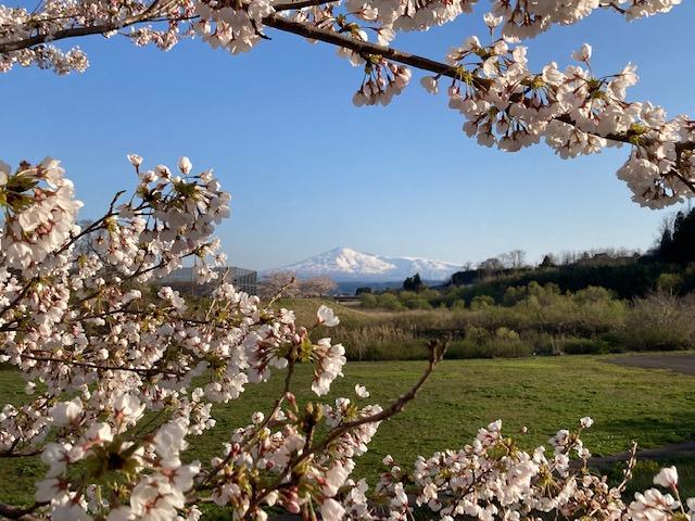 芋川の桜堤
