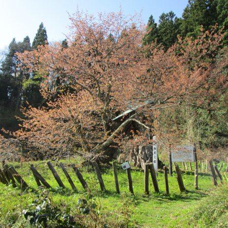 2021/4/27 かすみ桜