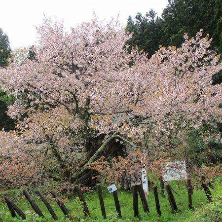 20210430_かすみ桜